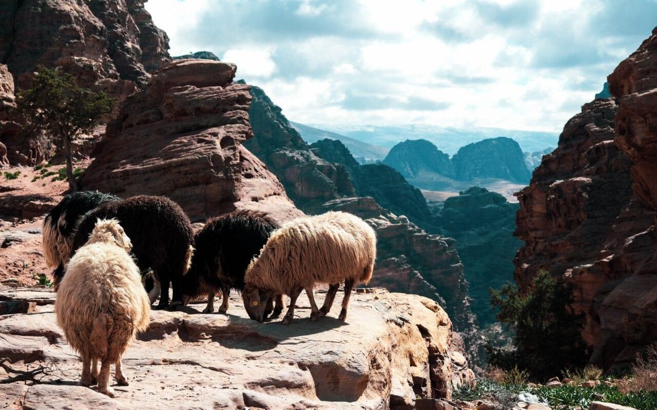 owieczki w Petrze