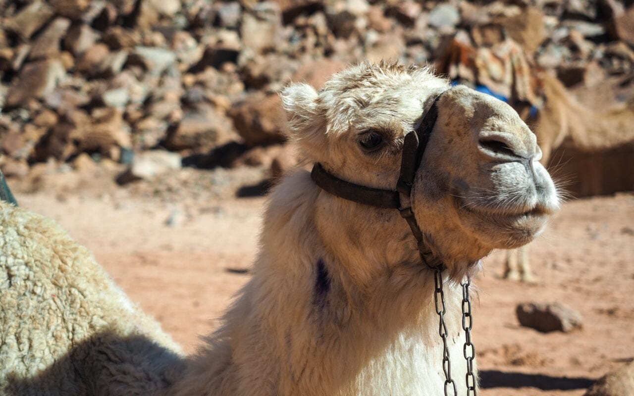 wielbłąd na Wadi Rum