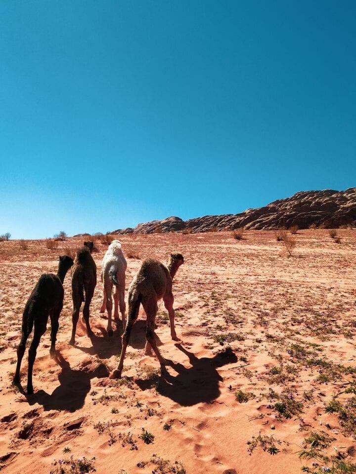 dzikie wielbłądy na Wadi Rum