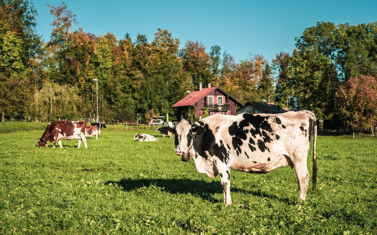 atrakcje-szwajcarii-szwajcarskie-krowy