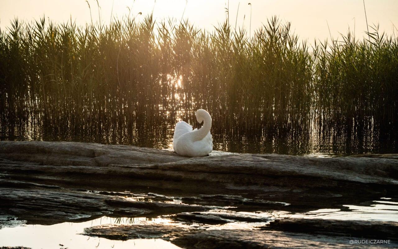 labedzie-w-jeziorze-garda
