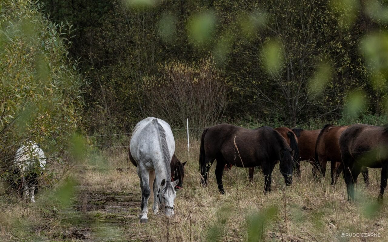bieszczadzkie-konie