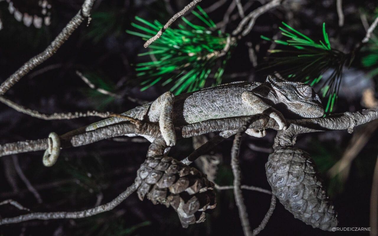 camaleón nocturno