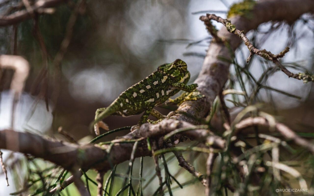 cómo-encontrar-un-camaleón